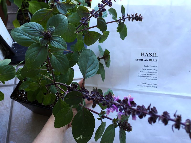 Growing Instructions for African Blue Basil