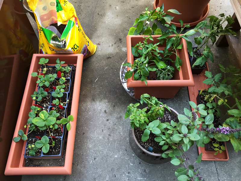 Organic Strawberry Plants Ready to be Transplanted